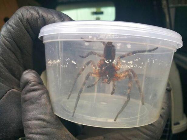 Znaleziony pająk straż miejska