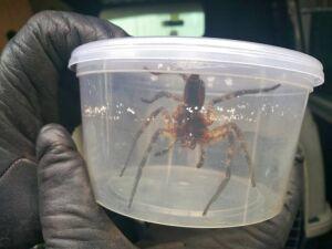 Egzotyczny pająk w pudle z bananami. Jadowity, ale osłabiony