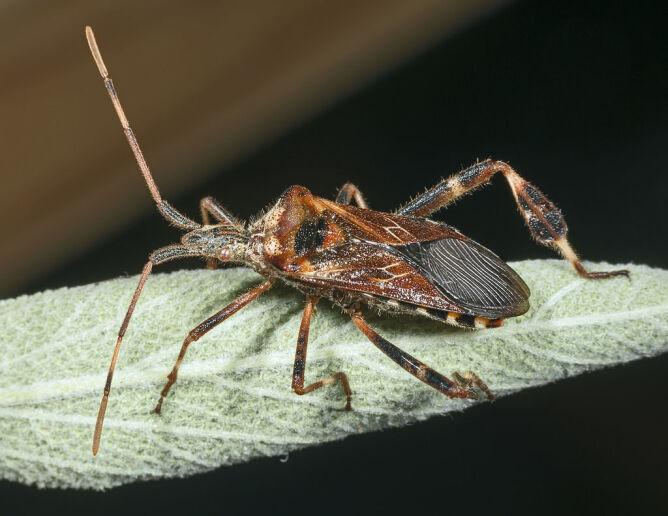 Wtyk amerykański (Leptoglossus occidentalis) (Didier Descouens)
