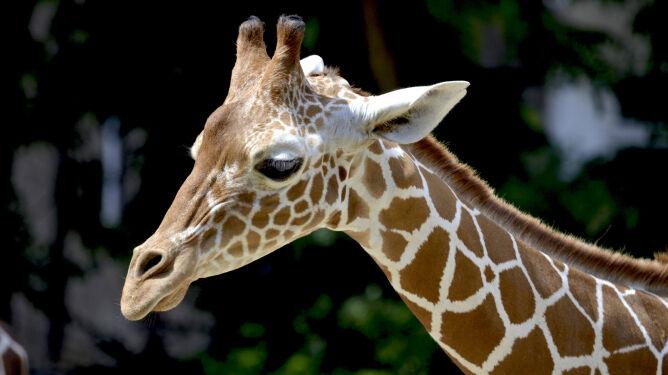 """Dwa tysiące dolarów za możliwość zabicia żyrafy. """"Wymierają po cichu"""""""