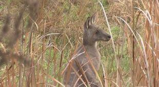 Pożary zagrażają kangurom